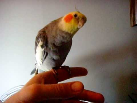 Cockatiel Performing Andy Griffith Show Theme