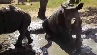 Orphaned rhinos Gertjie & Matimba sharing a mud bath @HESC
