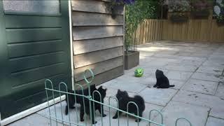 Schipperke pups van Christine 8 weken