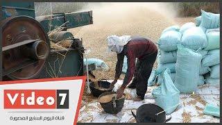 بالفيديو.. شاهد مراحل تدريس القمح بمحافظة كفر الشيخ