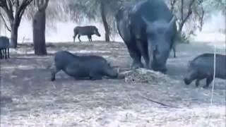 Бои животных  Носорог против дикого кабана