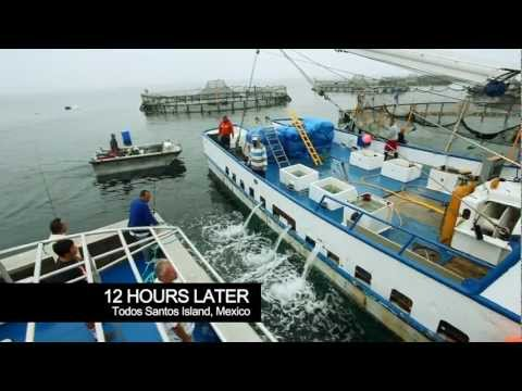 Aquaculture - the Pacifico Partnership - Baja, Mexico