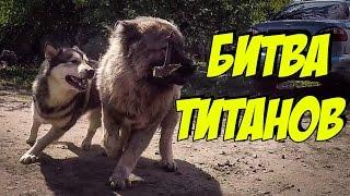 Собаки напали на медведя