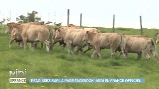 FEUILLETON : Le boeuf de Chalosse, une authenticité Landaise