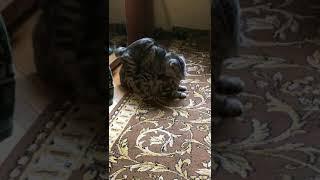 Шотландский кот соблазнил кошечку