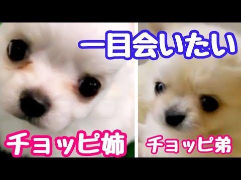 【再会したい!】未だ会えない子犬の時に離れ離れになったチワワの兄弟に伝えたい事  【puppy chihuahua】【かわいい犬】【puppy dog】【cute dog】【チワワ】
