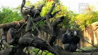 Gorilla Enrichment for 1st Annual World Gorilla Day - Cincinnati Zoo