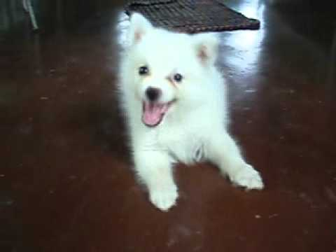 japanese spitz puppy at 2 months old youtube