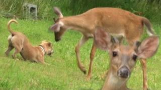 Ultimate Dog Tease - Puppy Teasing Wild Deer - Funny Pet Video