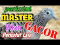 Perkutut Lokal Gacor Manggung  Mp3 - Mp4 Download