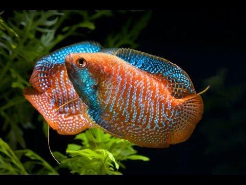 рыб гурами фото