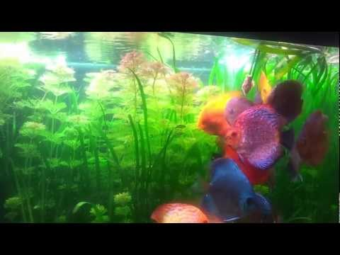 What To Feed Discus