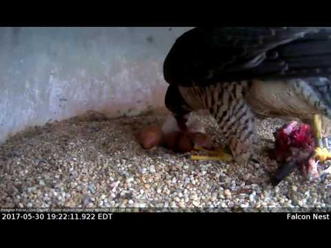 Peregrine Falcon Adult Feeds Eyas-Union County Courthouse