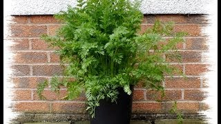 Growing organic carrots in 10 inch pots on a Patio. Tips and advise from the grower.