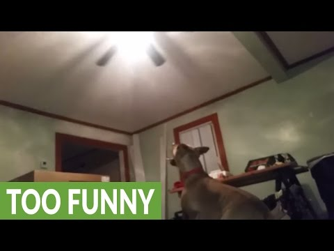 Jumping dog tries to catch ceiling fan