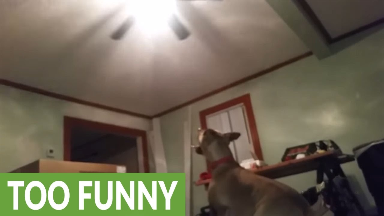 Jumping dog tries to catch ceiling fan youtube jumping dog tries to catch ceiling fan mozeypictures Images