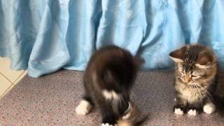 Сибирские котята - кот и кошка