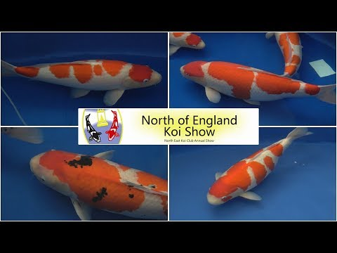 The Champions - 2019 North of England Koi Show