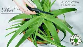 Aloe Vera ernten und Gel gewinnen