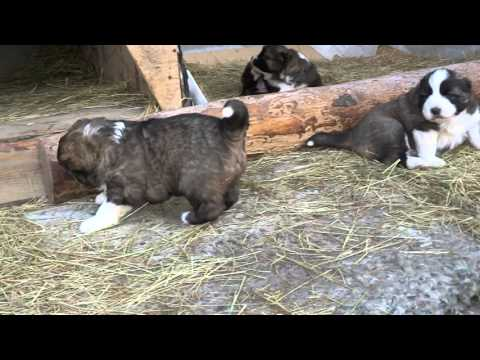 щенки кавказской овчарки 27 дней