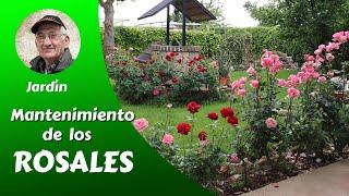 CÓMO CULTIVAR BELLAS ROSAS - Mantenimiento y cuidados de los rosales- 3/6
