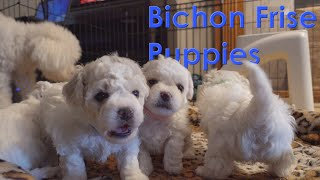 Bichon Frise Puppies Christmas 2020
