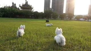 West Highland White Terrier 好朋友