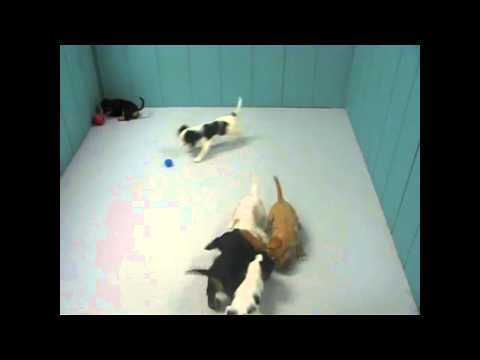 Cavalier King Charles Spaniel, Puppies, Dogs, For Sale, In Hempstead Town, Borough, New York, NY