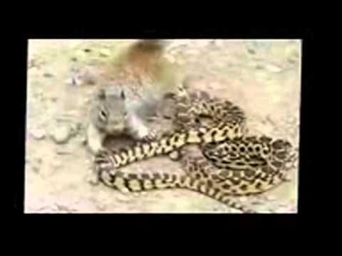 Mongoose vs cobra Snake Top 3 fighting new videos - YouTube