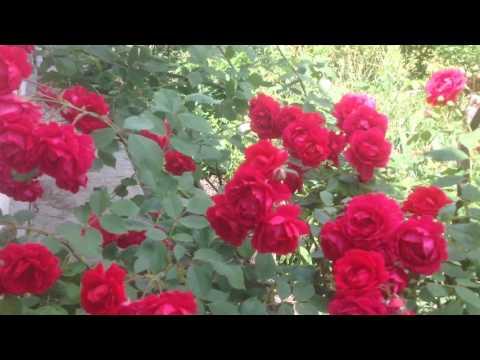 Красная плетистая роза. Подскажите название!