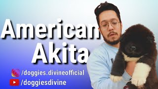 American Akita Breed || Akita Puppy Excellent Quality || Doggies Divine || Family Guard Breed
