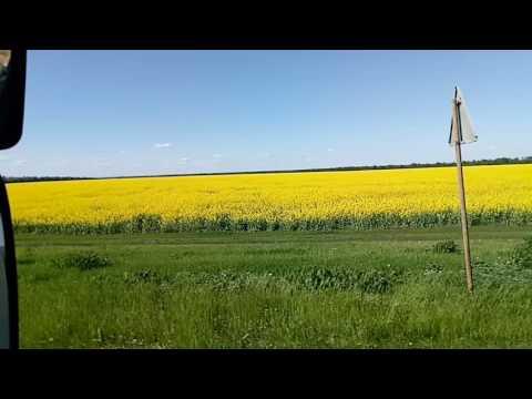 Огромное поле с желтыми цветами