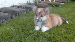 Corgi Puppy Liko And Family