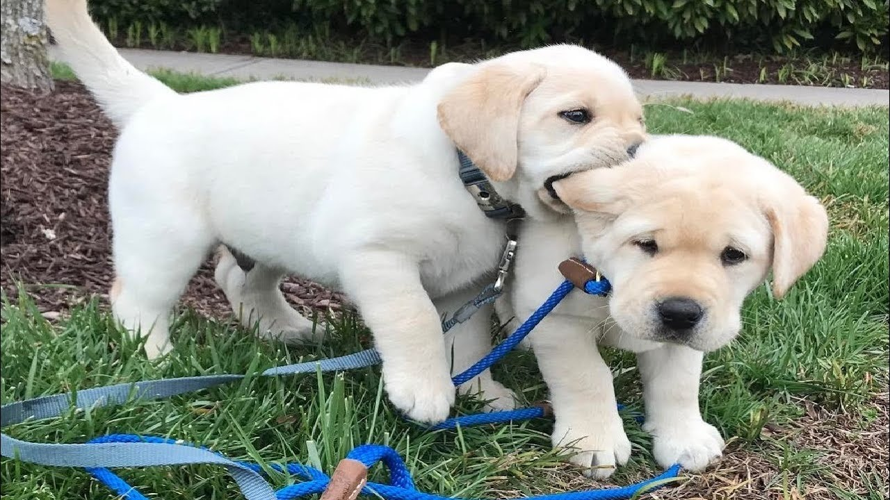 Download Labrador Puppies Funny Compilation #9 - Best of 2018