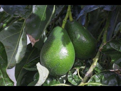 Вопрос: Какие особенности выращивания авокадо на подоконнике?