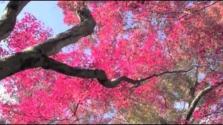 これで、今年最後の紅葉動画となります。前半は、嵐山嵯峨野界隈の紅葉...