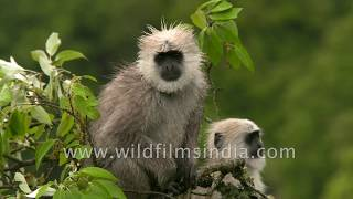 Langur sisters chat up each other, fool around in wildfilmsindia forest
