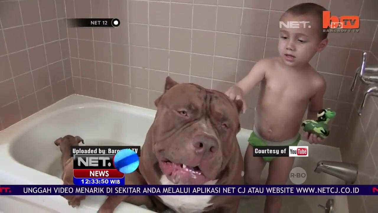 Fakta Anjing Pitbull Net12 Youtube