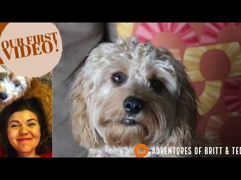 DOG VLOG: Cavapoo (Cavoodle) Pros and Cons - First Dog and first video!