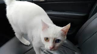 Милка , Каомани .Кошка с разным цветом глаз.