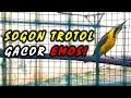 Sogon Trotol Gacor Pake Emosi  Mp3 - Mp4 Download