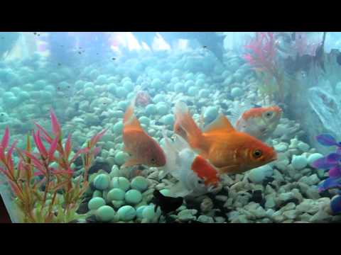 Gold fish milky koi cup youtube for Milky koi fish
