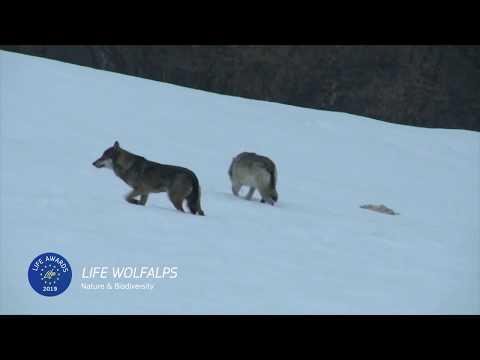 LIFE Awards 2019   Nature & Biodiversity: LIFE WOLFALPS