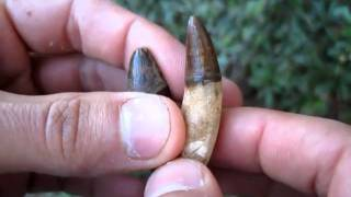 Two Larger Pliocene Alligator Teeth