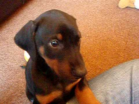 dobermann puppy olive at 8 weeks old youtube. Black Bedroom Furniture Sets. Home Design Ideas