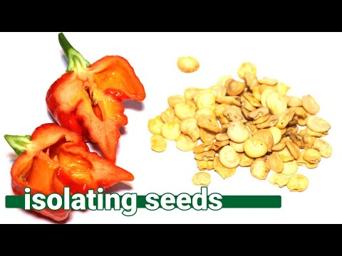 How to isolate your chilli peppers so you can harvest free seeds!