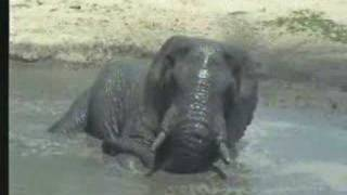 Elephant at Water Hole - Entire Visit