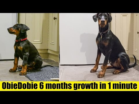 Timelapse of Doberman Puppy from 8 weeks to 6 months - HD 4K