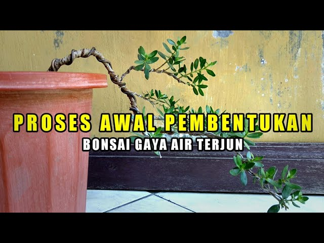 Download Budidaya Dan Program Bonsai Gaya Air Terjun Mp3 Mp4 3gp