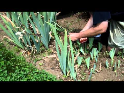 German or Bearded Iris Maintenance and Care